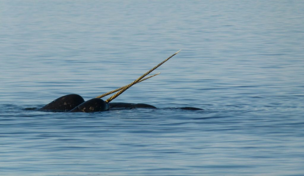 narwhal at floe edge