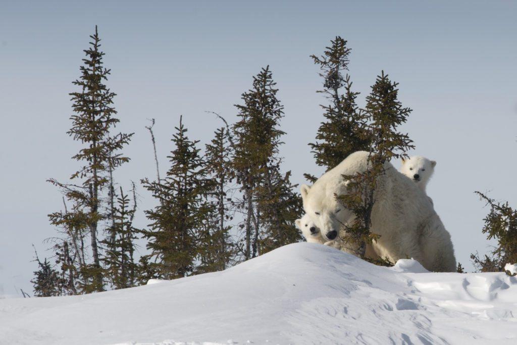 Highlights From Polar Bear Mother & Newborn Cubs Trip   Arctic Kingdom