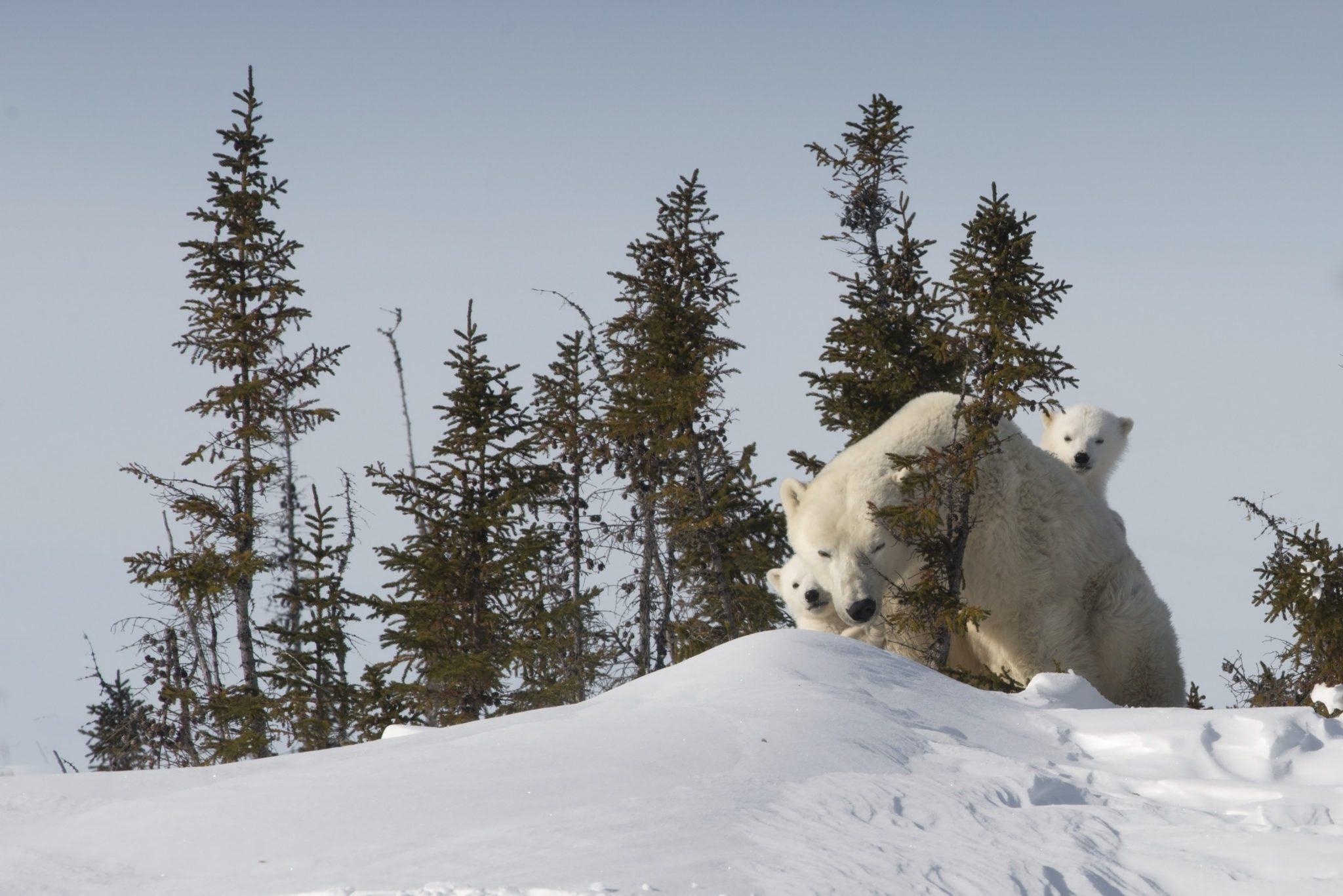 Highlights From Polar Bear Mother & Newborn Cubs Trip | Arctic Kingdom