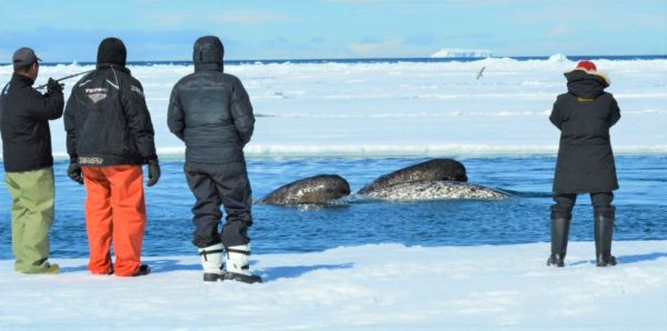 Narwhal viewing at floe edge