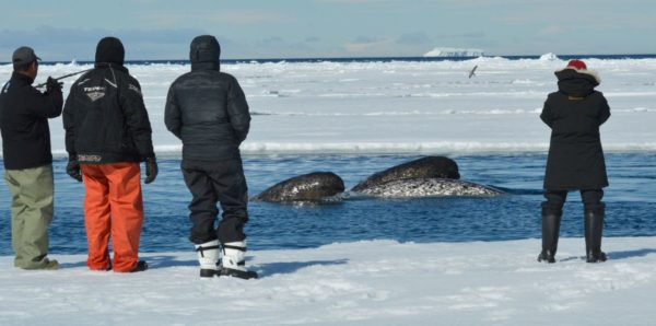 Watching whales from floe edge in spring