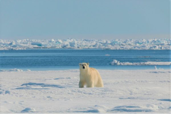 Polar bear on the arctic floe edge