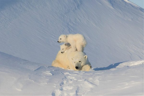 Polar bears in the spring
