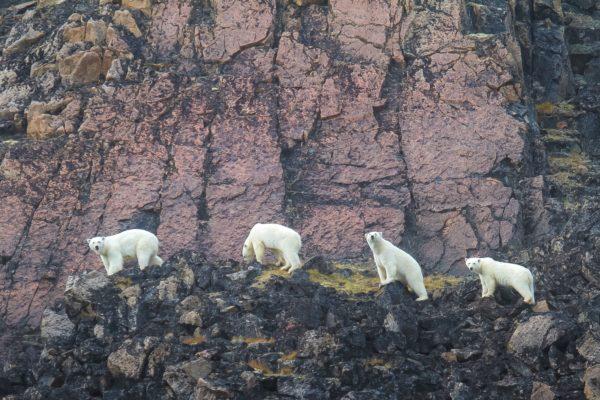 Polar bears in Qikiqtarjuaq
