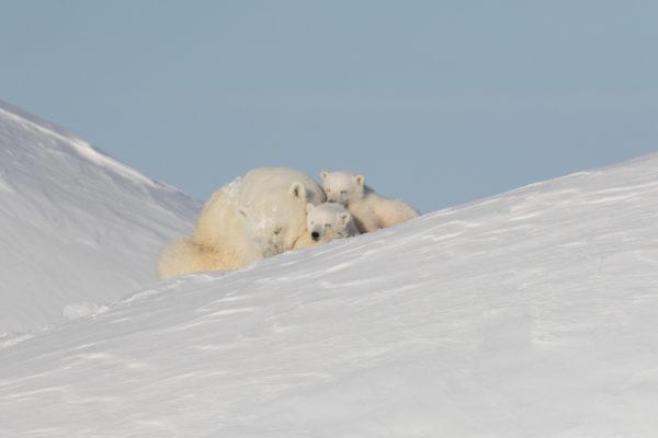 Polar bear mother watching over cubs