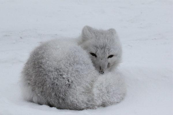 Arctic fox dark fur