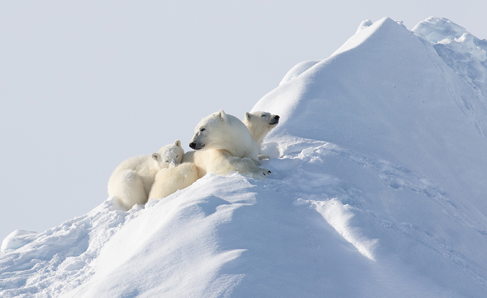 Polar Bears: How They've Adapted To Their Arctic Realm
