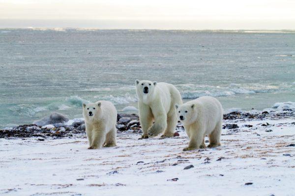 Polar bear migration during safari