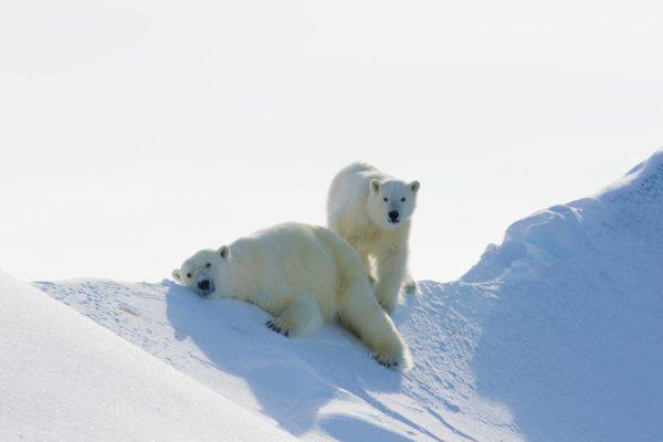 Zoomed angle of polar bears