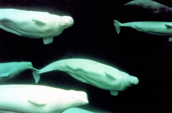 underwater beluga whales