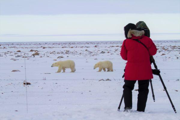 Polar Bears At Eye Level And Close-Up