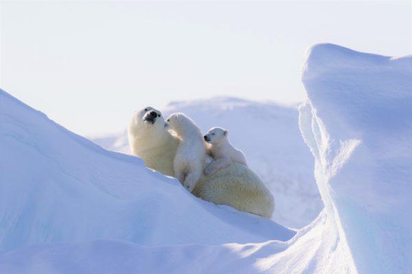 Polar bear with cubs in arctic
