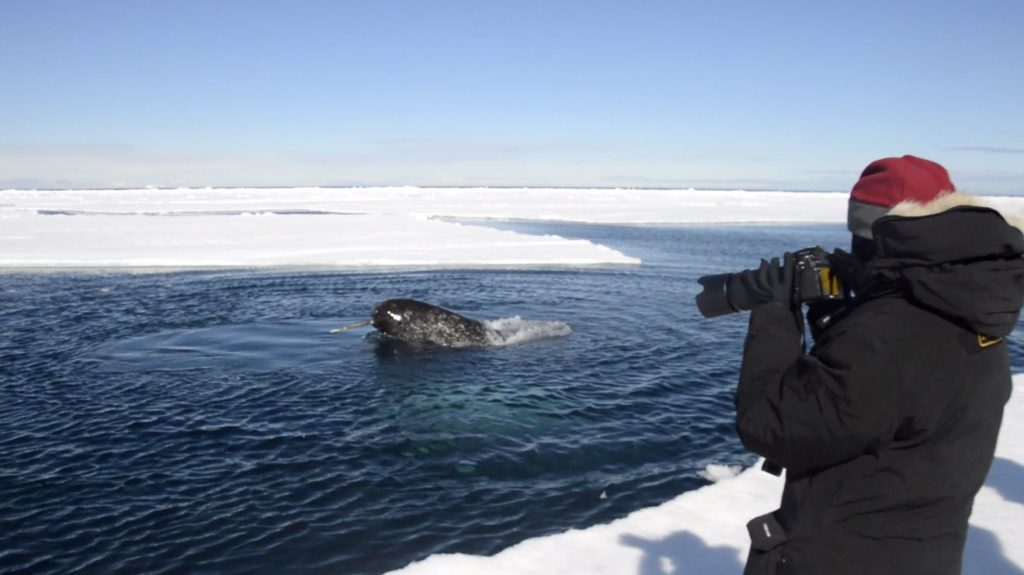 narwhal being photographed