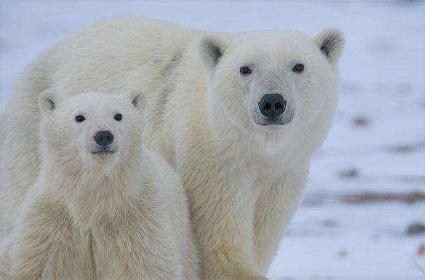 Eye level angle of polar bear and cub