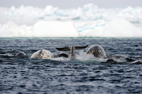 Narwhals swimming in arctic floe edge