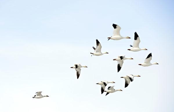 Migrating birds in the arctic