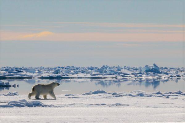 Polar bear trotting across floe edge