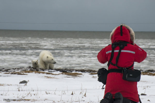 Photographing polar bears from fenced area in the arctic