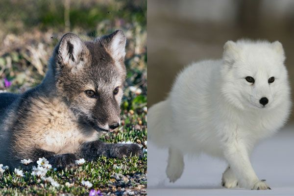 Arctic fox in summer and winter