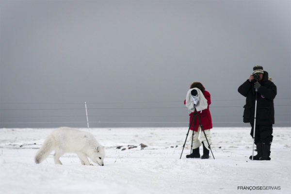 Photographing an arctic fox