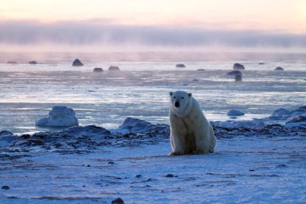 Polar bear in the arctic by the ocean
