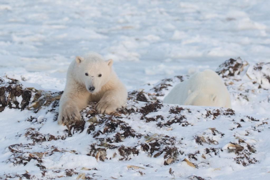 Spring Polar Bear Safari vs. Hudson Bay Polar Bear Cabins