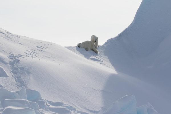 Arctic wildlife viewing - polar bears