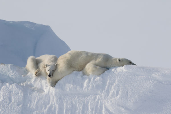 Polar bears in Nunavut