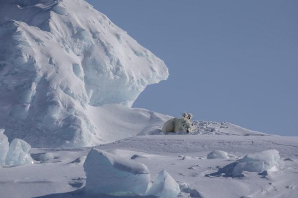 Polar bear with cubs in the arctic