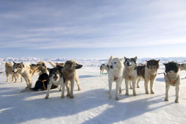 Canadian Inuit Dog