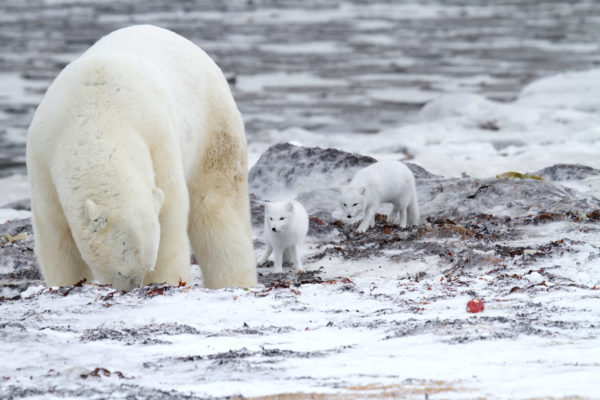 Polar bear with arctic foxes trailing behind