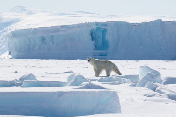 lone polar bear in the arctic