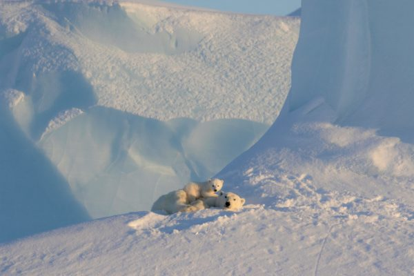 polar bear and cub laying in snow