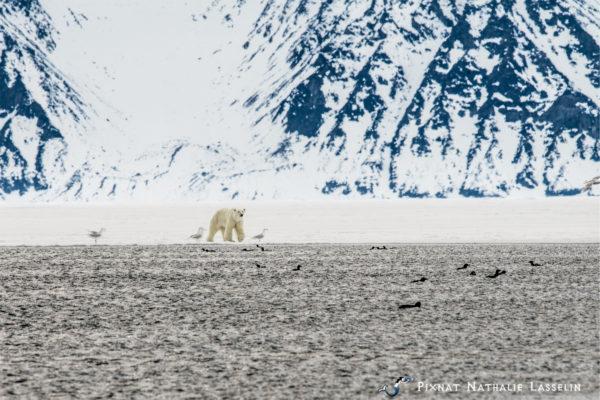 polar bear at floe edge