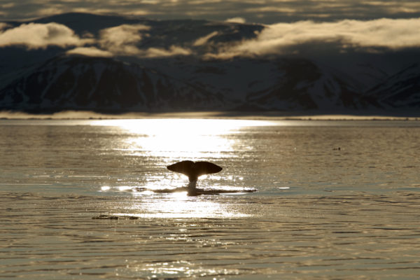 Lone narwhal swimming near sundown