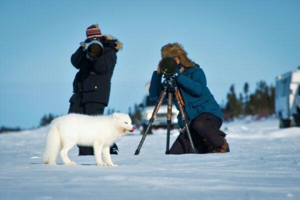 photographers and an arctic fox
