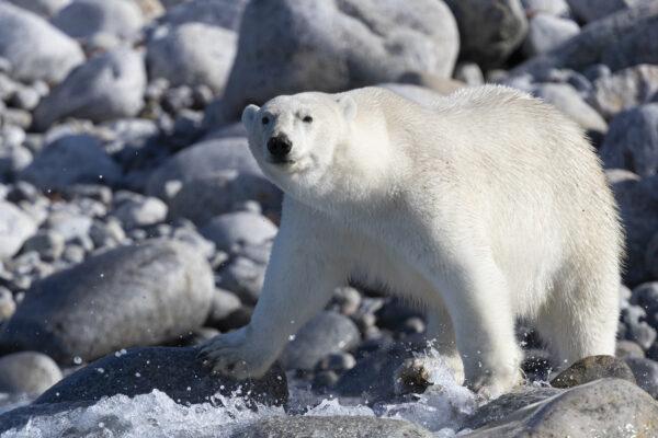 polar bear on rocky shore