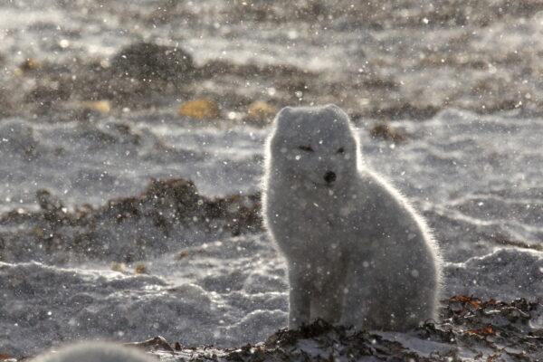 arctic fox during snowfall