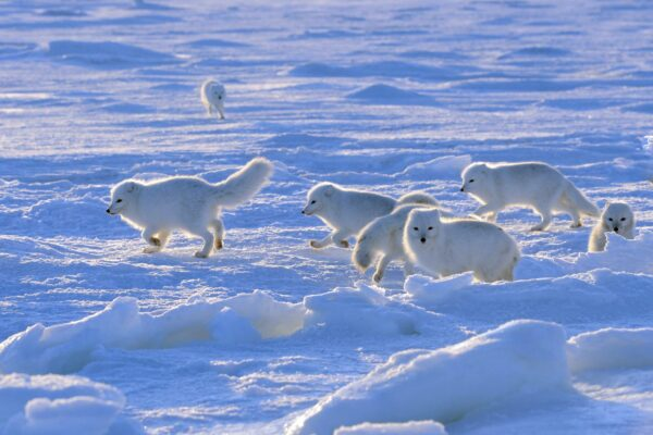 a litter of arctic foxes