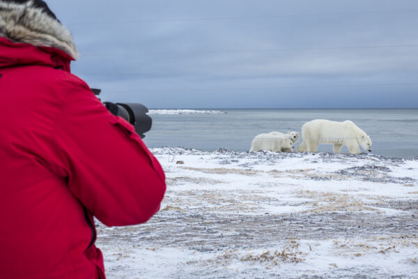 photographing polar bears from behind a fence during migration
