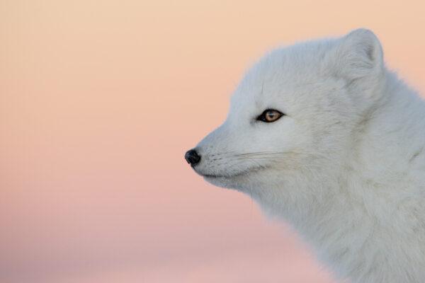 arctic fox looking outwards