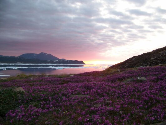 arctic summer flowers and sunset