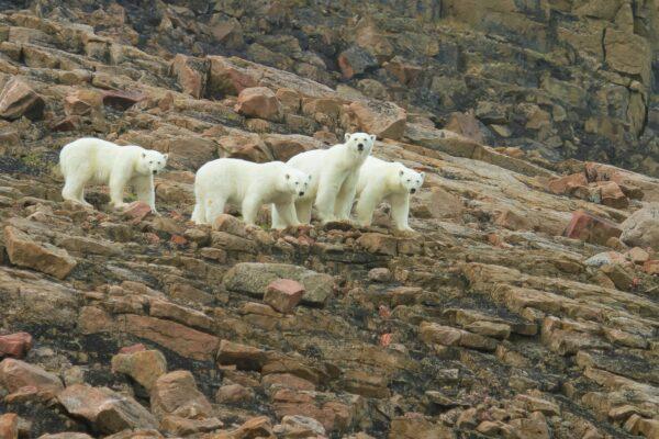 four polar bears roaming along rocky landscape