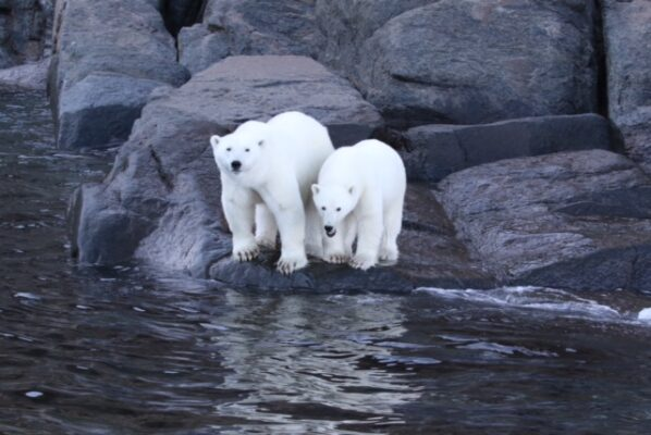 polar bears on the edge of the coast
