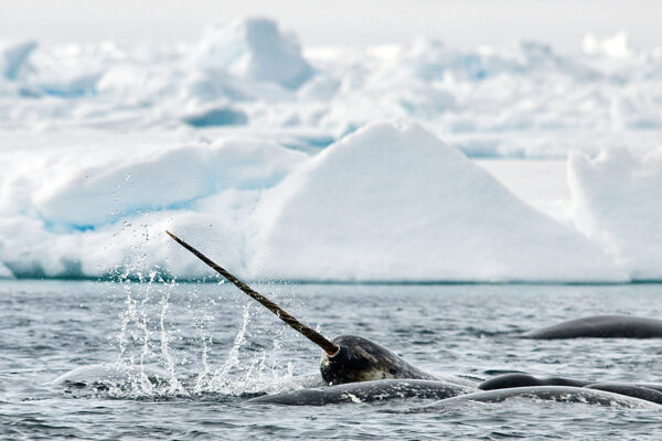 narwhal underwater