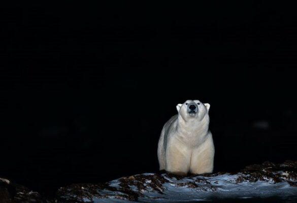 polar bear in the dark