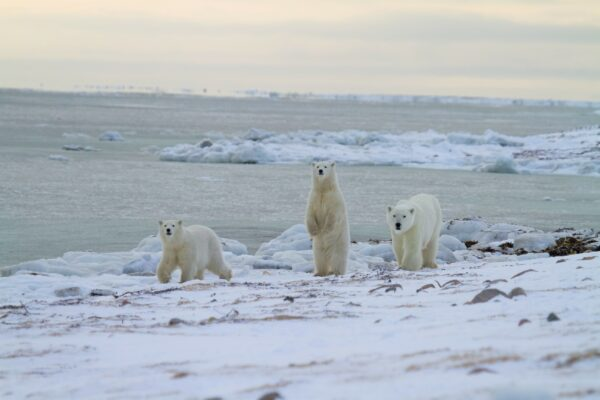 three adult polar bears in the arctic