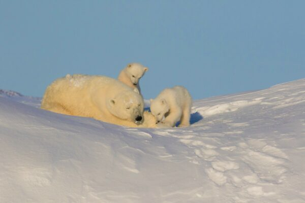 Polar bear and cubs on snowy hill
