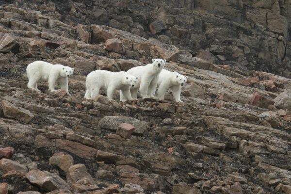 group of polar bears on rocky arctic cliff