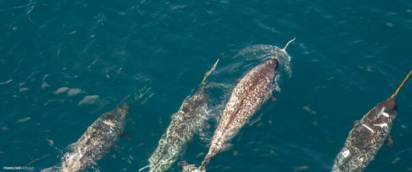 Group of narwhal swimming